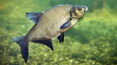 Рыба Лещ, Рыба,  Талгар