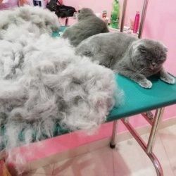 Кошки более 7 кг (мейнкун)