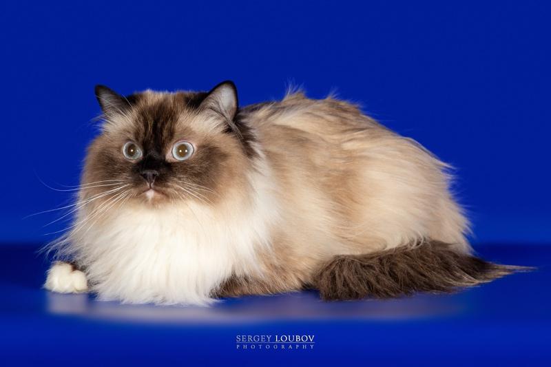 Кошка породы Рэгдолл , Питомник кошек породы Рэгдолл MaryaBell, Курган