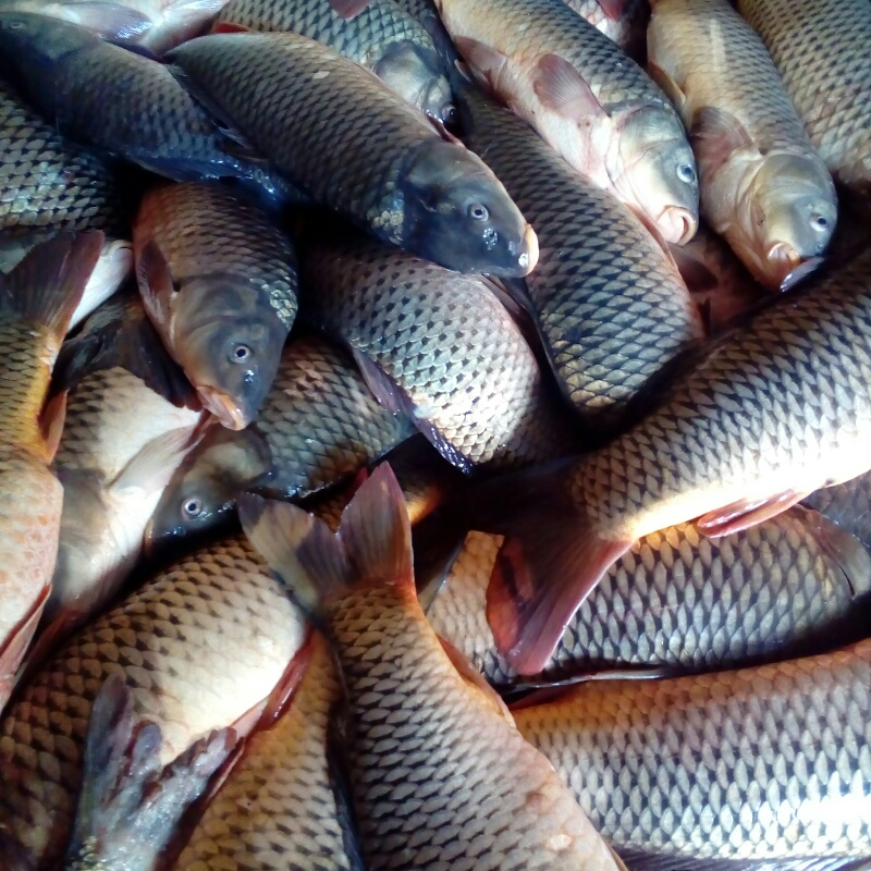 Морской, Золотая рыбка, Владикавказ