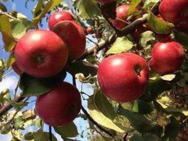 Саженцы от Саженцы яблони